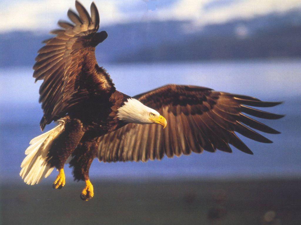 Aquila animali totem spiritualita l 39 albero buono d for Volantino acqua e sapone l aquila