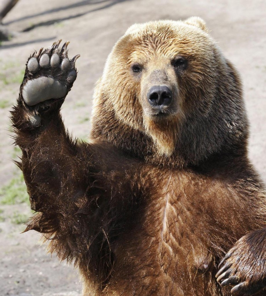 L orso animali totem simbologia e significato for Affittare una cabina nel grande orso