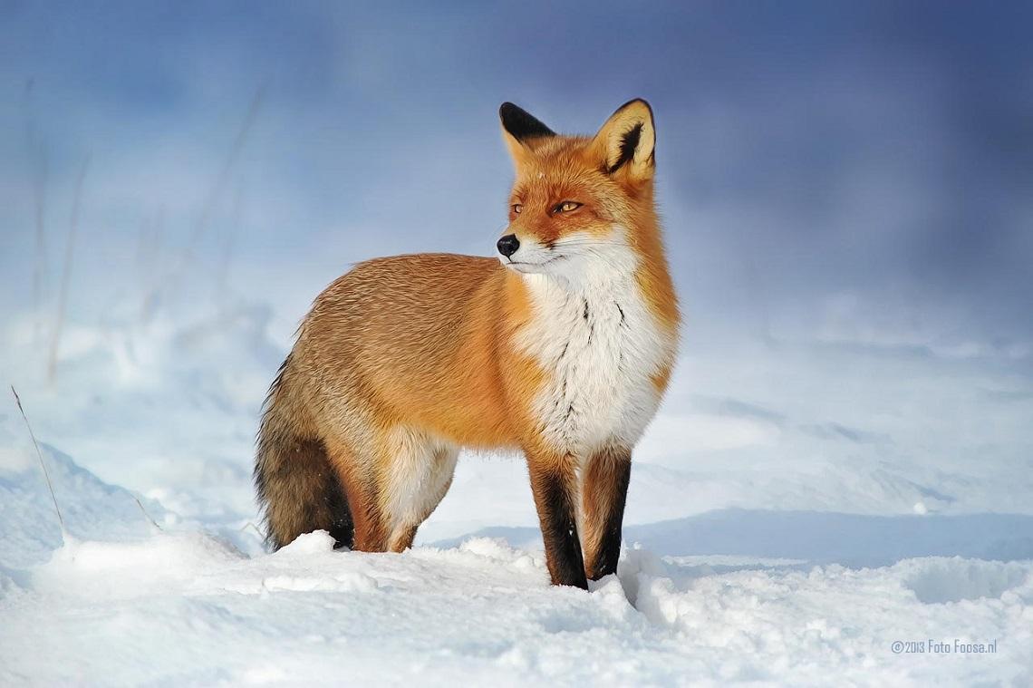 La volpe animali totem simbologia e significato - Immagini di volpe spugna a colori ...